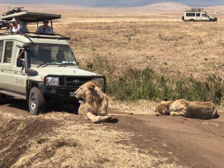 Lvi vnárodním parku Ngorongoro (Tanzánie)