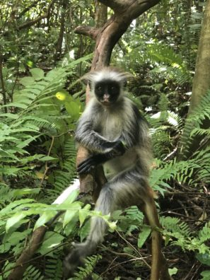 Zanzibar - gueréza červená - vtipná opice, která žije jen naZanzibaru