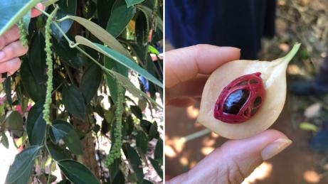 Pepř amuškátový ořech. Nazanzibaru pěstují obojí aje to zajímavé. :-)